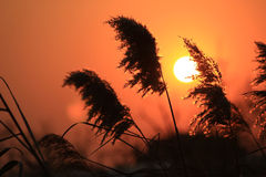 Reeds in sunset glow Stock Image