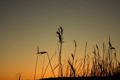 Reeds at sunset. Incredibly beautiful Royalty Free Stock Image