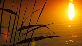 The Reeds on Sunset Landscape With Sun and Water Background stock footage
