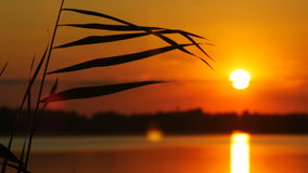 The Reeds on Sunset Landscape With Sun and Water Background stock video