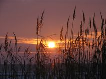 Reeds at sunset royalty free stock image