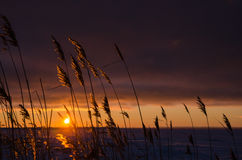 Reeds by sunset Royalty Free Stock Photo