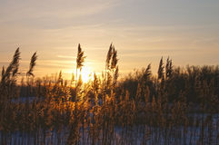 Reeds on a sunset in the winter. Royalty Free Stock Photo
