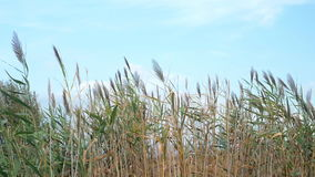 Reeds swaying in the wind stock footage