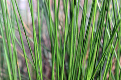 Reeds. Texture of reeds against a blurry backdrop Stock Images
