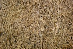 Straw, dry straw texture background, vintage style for design. Reeds texture. Straw surface. Thatch pack canvas. Straw pack texture. Stack of straw texture royalty free stock images