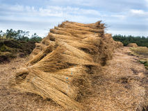 Reeds for thatching sampled in bundles Royalty Free Stock Images