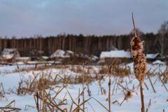 Reeds to a frozen pond near the village. Wooden houses near the lake in the snow
