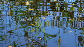 Reeds and trees reflected in the water of a forest lake. Slow motion stock video