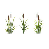 Reeds vector isolated set. Rush on white background. Reeds vector isolated set of sedge. Rush on white background Royalty Free Stock Image