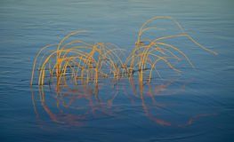 Reeds in water. Blue calm water with reeds and reflections stock photography