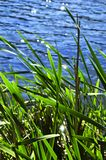 Reeds at water edge Stock Images