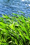 Reeds at water edge Royalty Free Stock Photos