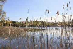 Reeds at the water edge Royalty Free Stock Images