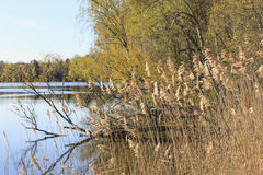 Reeds at the water edge Royalty Free Stock Photos