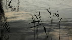 Reeds in the water stock video footage