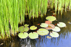 Reeds and water lilies in the garden pond. Royalty Free Stock Photography