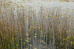 Reeds and water lilies Royalty Free Stock Photography