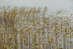 Reeds and water lilies Royalty Free Stock Photo