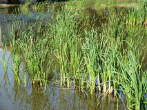 Reeds in the water Stock Image