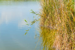 Reeds on the water in Platamona pond Stock Image