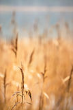 Reeds by water Stock Image