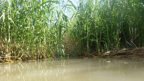 Reeds in water in river of dam. Reeds lots water river dam royalty free stock images