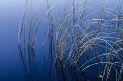 Reeds in water. Small reeds in blue water Stock Image