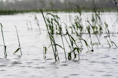 Reeds in the water Stock Photography