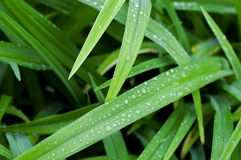 Reeds with waterdrops Stock Photo