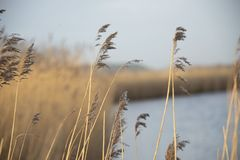 Reeds on the waterfront. royalty free stock photo