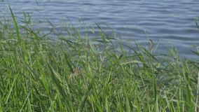 Reeds are waving in the wind. In the background is a river or a lake stock video