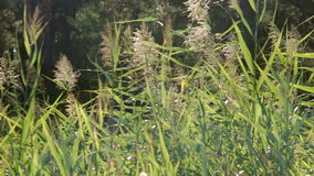Common reeds (Phragmites australis) waving by wind in summer near forest. Trees on background. Lush green common reeds (Phragmites australis) waving by wind in stock footage