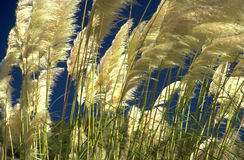 Reeds in the wind. Reeds swayed by the wind Royalty Free Stock Photos