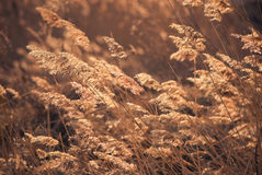 Reeds on a wind Royalty Free Stock Photography