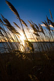 Reeds in the wind. Against a colourful sunset Stock Photos