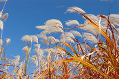 Reeds in wind Royalty Free Stock Images