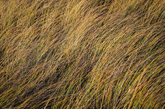 Reeds in wind Stock Photography