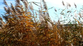 Reeds in the wind with autumnal colors stock video