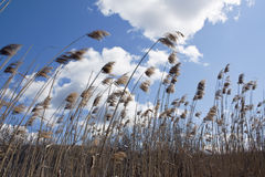 Reeds in the wind Stock Photography