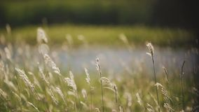 Reeds in the wind in front of the lake stock video footage