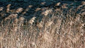Reeds in the wind. Royalty Free Stock Images