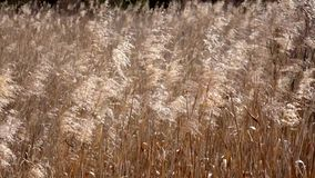 Reeds in the wind. Royalty Free Stock Photos