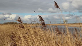 Reeds in the wind stock video