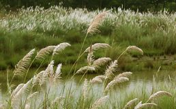 Reeds with river  green natural landscape. Reeds in the wind with river green natural landscape photo Stock Photography