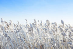 Reeds by the wind in winter. Royalty Free Stock Image