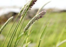 Reeds. On a windy day Royalty Free Stock Photography