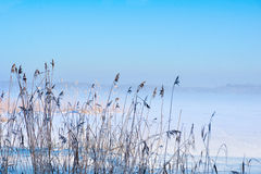 Reeds in winter Stock Photo