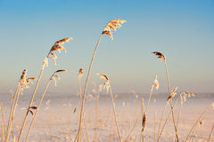 Reeds in winter Stock Photos