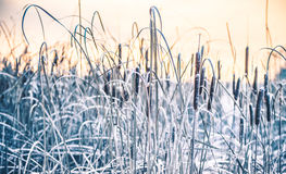 Reeds in winter frost and lake. Reeds in winter frost at sunrise lake Stock Photo